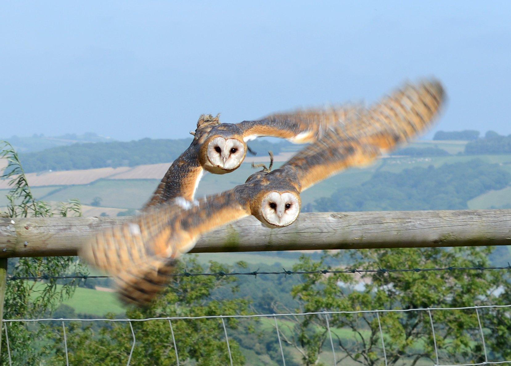 Owls flying together