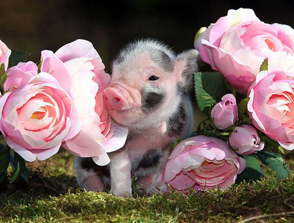 Mini Pigs As Pets