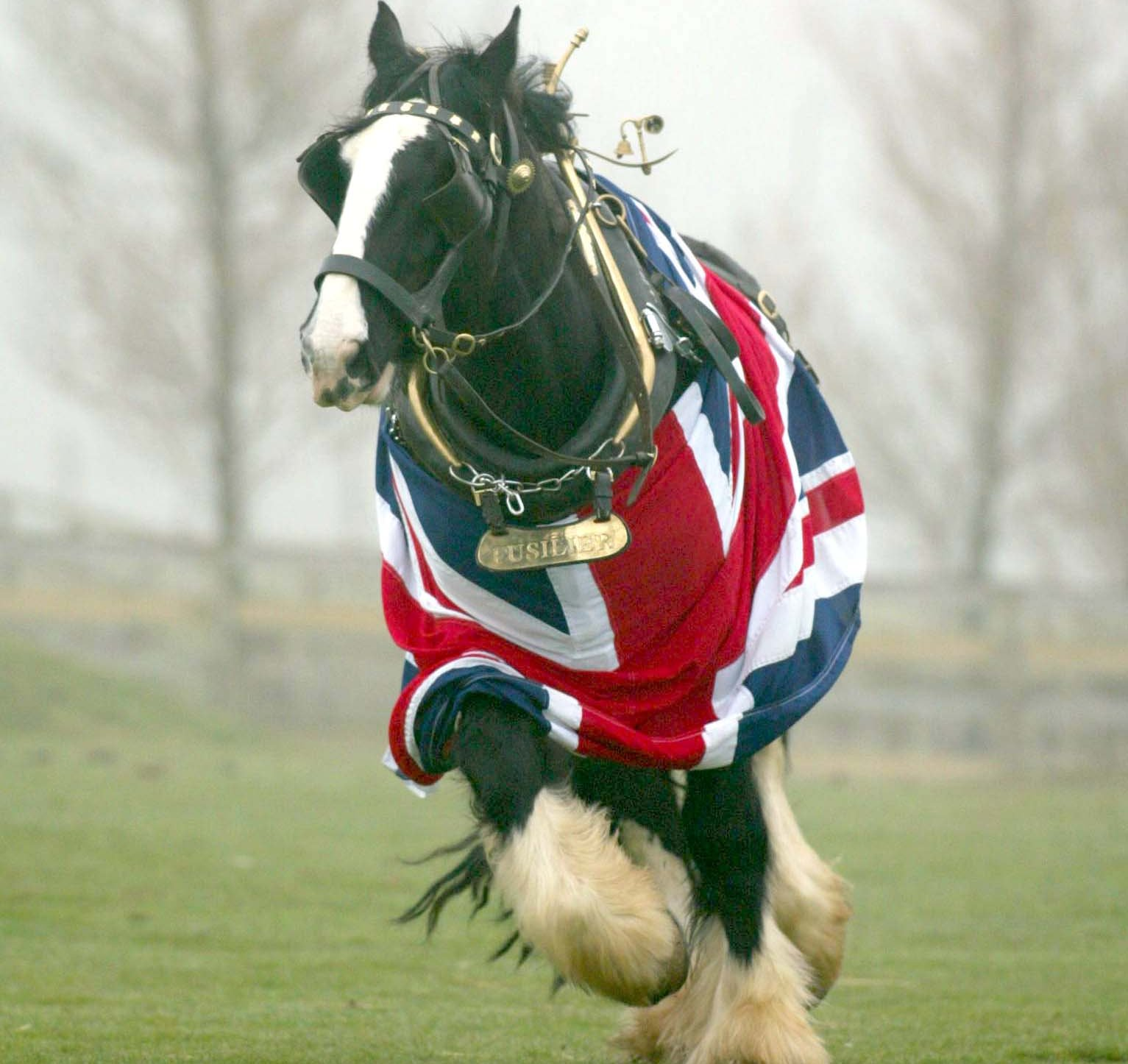 Fusilier the Shire Horse