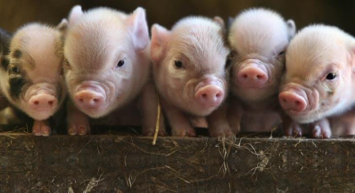Pennywell Farm - Perfect piglets