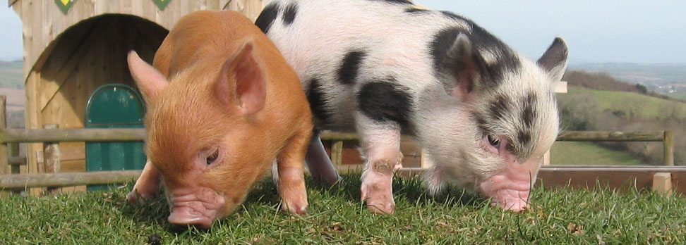 Pennywell miniature pigs