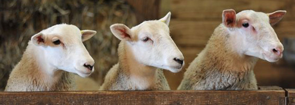 3 Wise Sheep