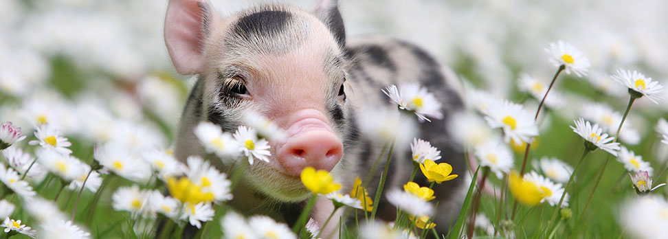 Buying a miniature pig pennywell miniature pigs pig in daisies voltagebd Gallery