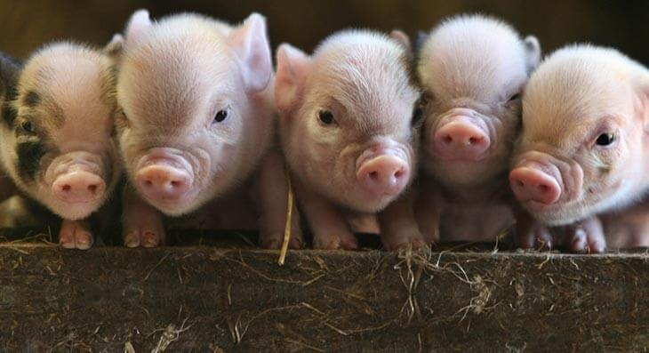Pennywell Farm - Perfect piglets