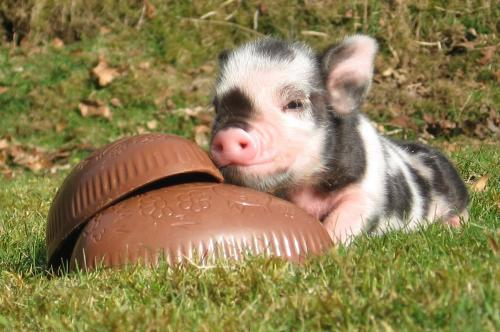 Easter pig at Pennywell Farm