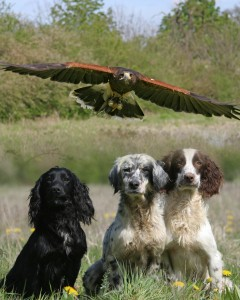 Hawk flying over dogs