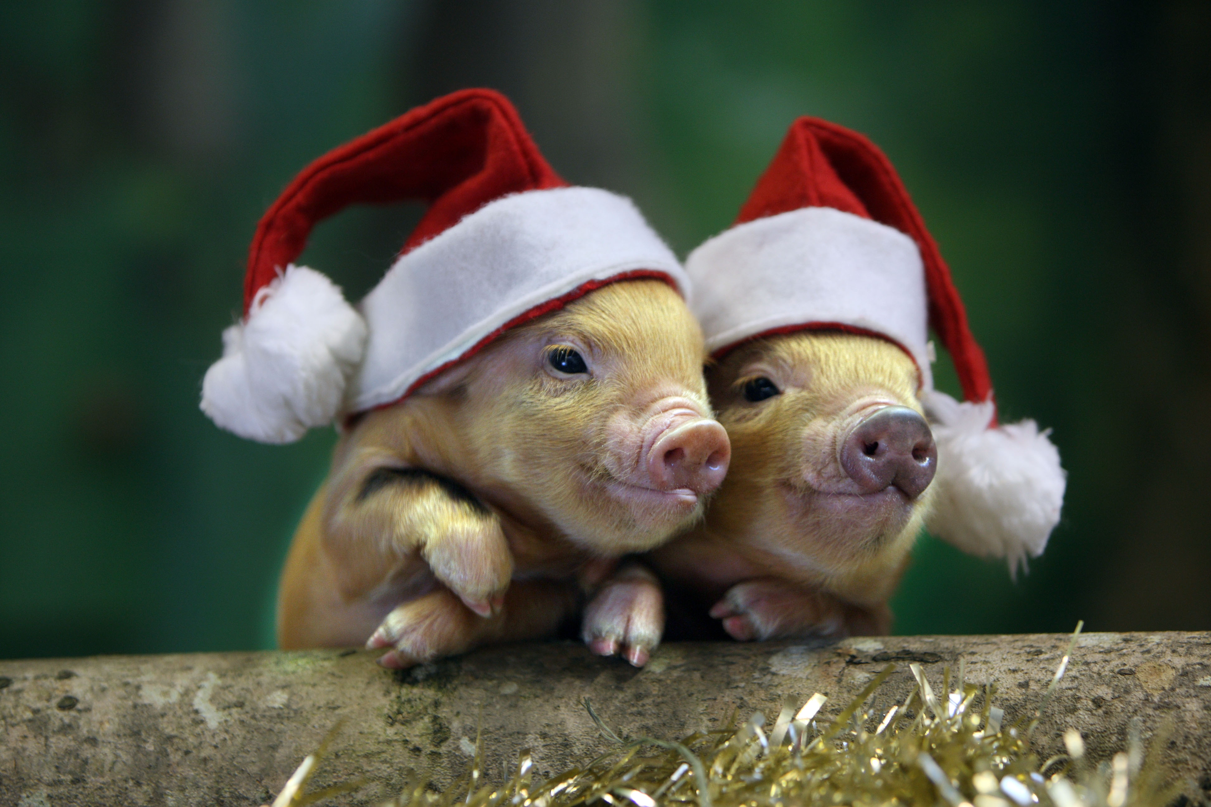 Christmas Pigs.Countdown To Christmas At Pennywell Devon Tourist