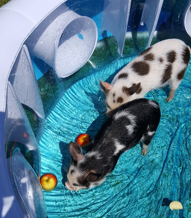 Pigs in the pool