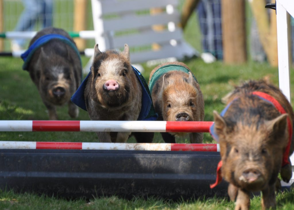 Pigs going over jumps, Pennywell Farm, Devon, England