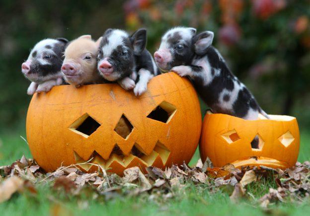 Pumpkin piglets