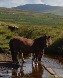 Dartmoor pony - Visit South Devon