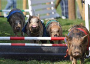 Miniature-Pig-racing-at-Pennywell-Farm-300x214