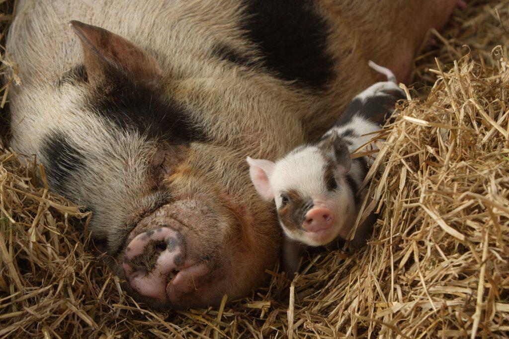 Mum and piglet