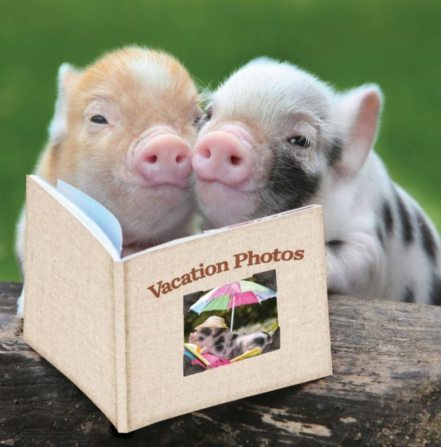Pigs with book