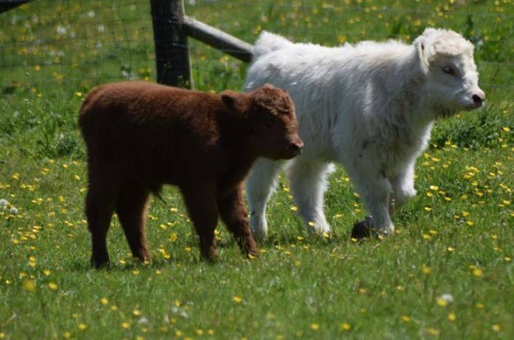 Calves settling in