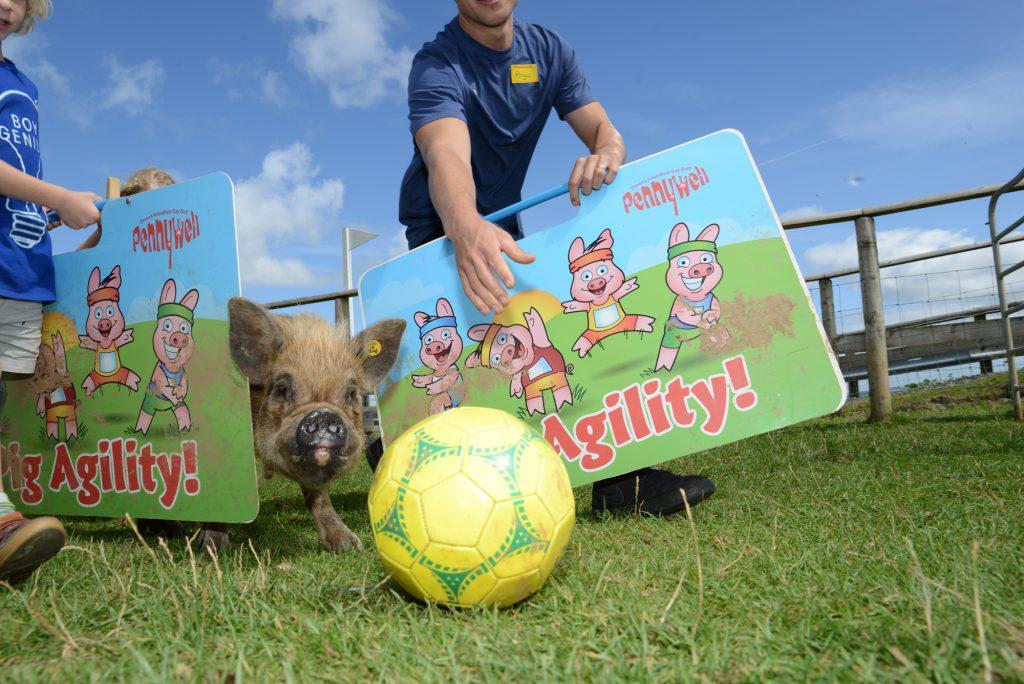 Training pigs