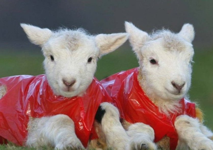 lambs with winter coats on