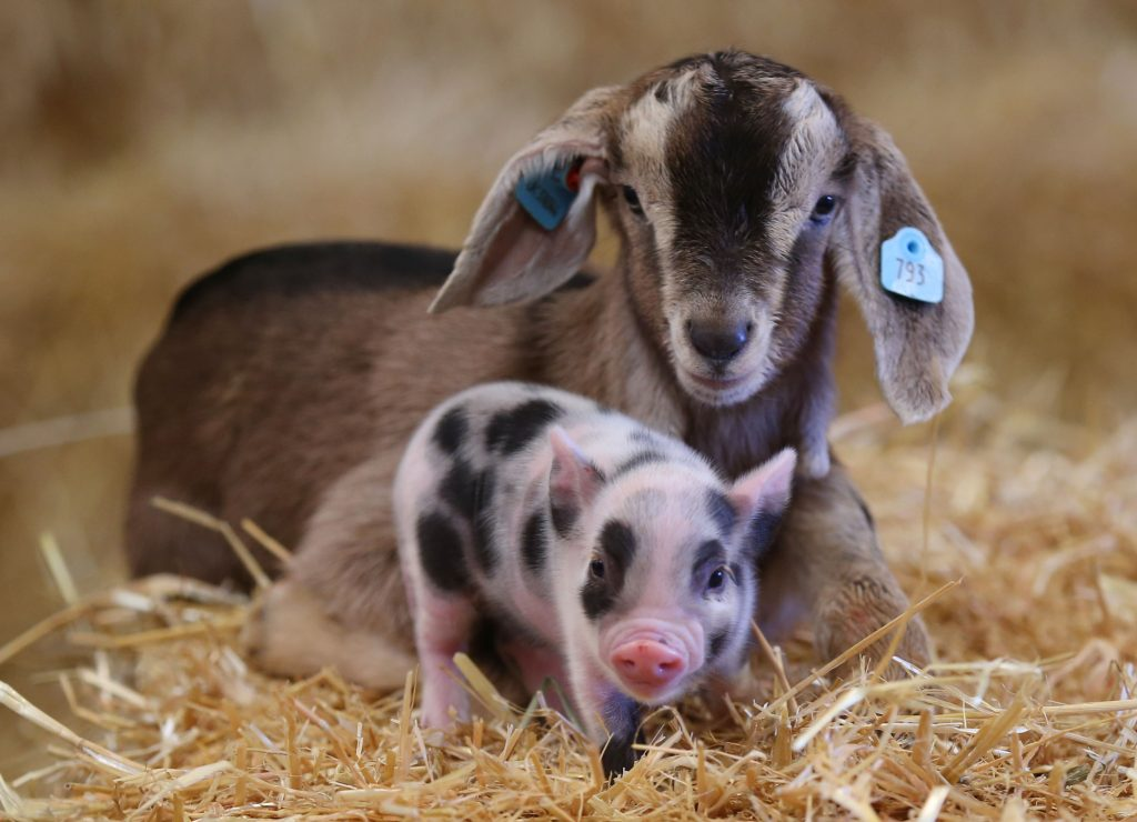 Goat kid and piglet