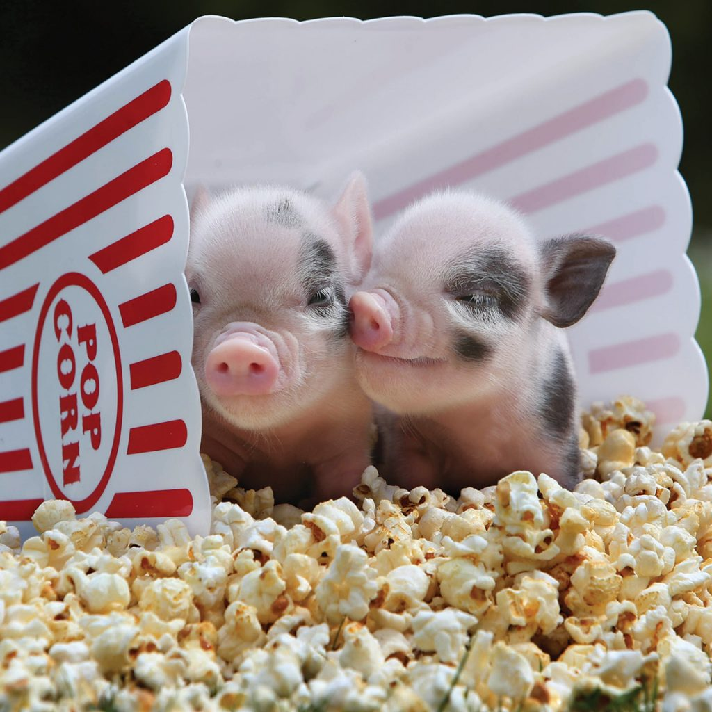 Popcorn pigs