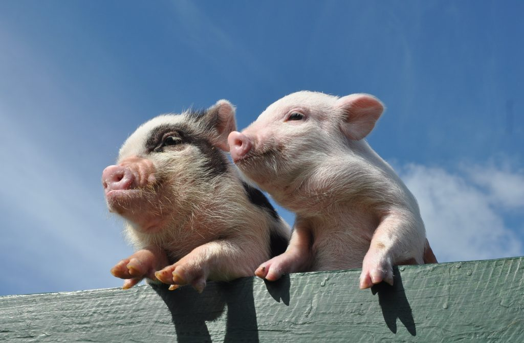 Pigs on the fence
