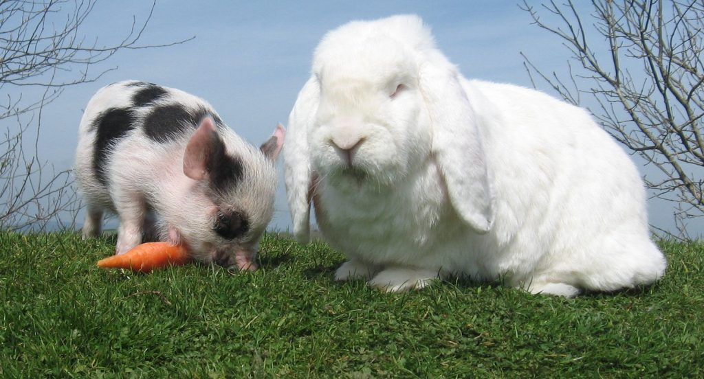 Pig and rabbit