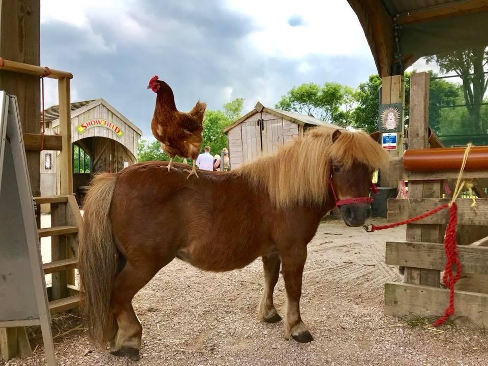 Pony and cockerel