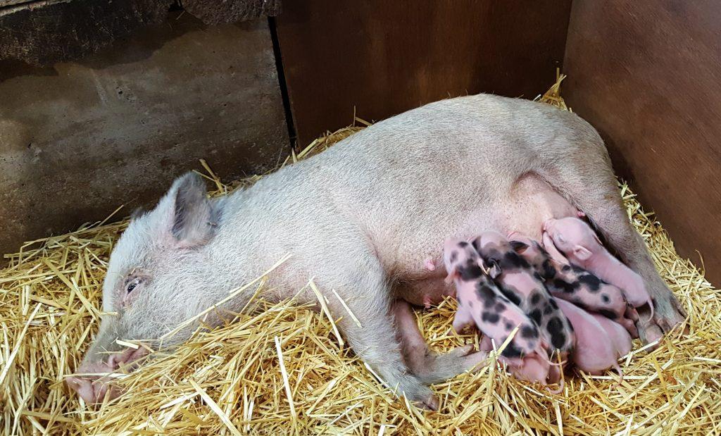 miniature piglets
