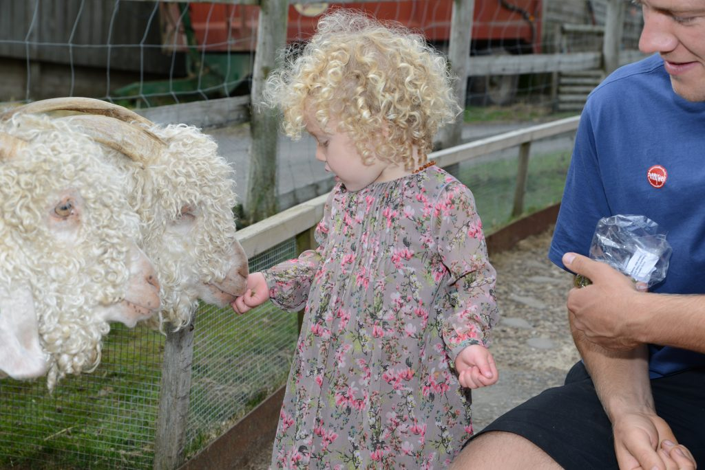 Angorra Goats, Pennywell Farm, Devon Tourist Attraction