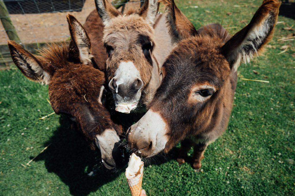 Miniature donkeys, Pennywell Farm, Devon