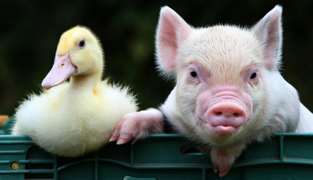 Duckling and Piglet, Pennywell Farm, Devon Tourist Attraction