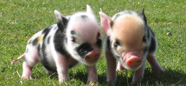 Pennywell Piglets