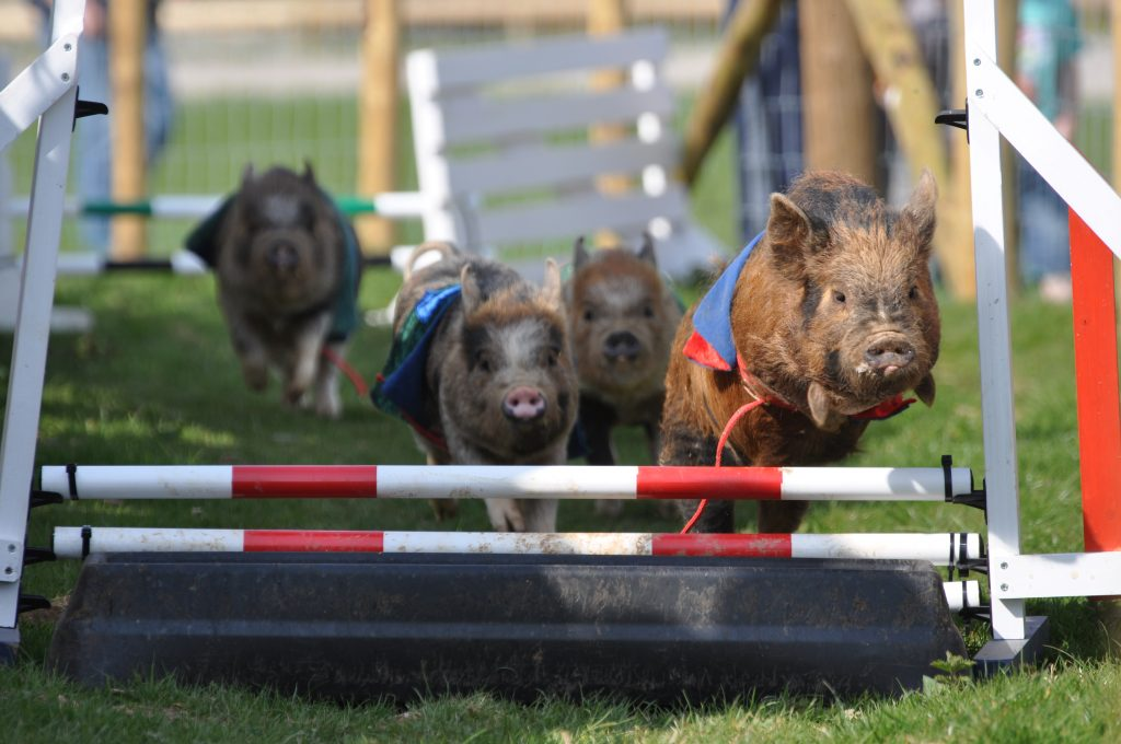 Pig racing, Pennywell Farm, Devon Tourist Attraction