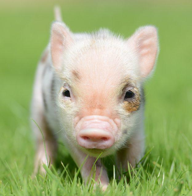 Pennywell Miniature Pigs