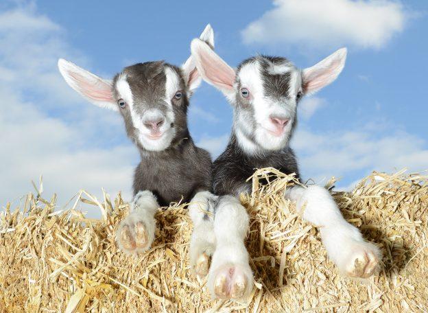 Goat kids, Gruffts