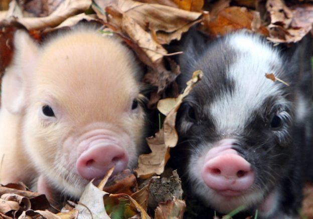 Autumn piglets